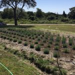 This is the first lavender patch we planted.