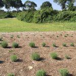 Every season we add a few more lavender plants.